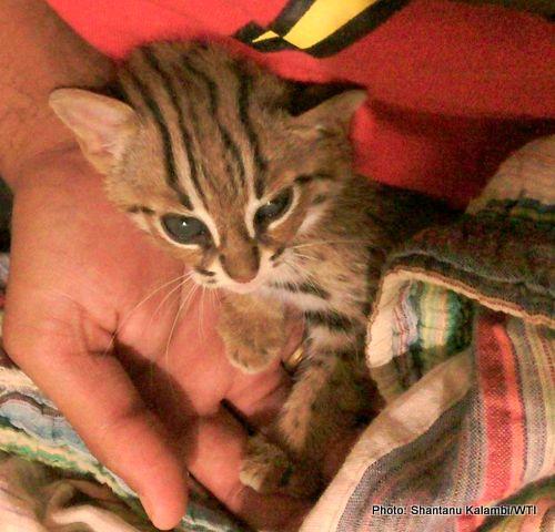Rusty cat Wildlife Trust Of India