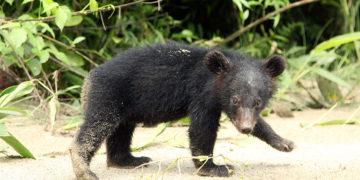 asiatic black bear wildlife trust of india