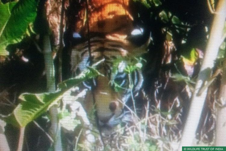 Maharashtra, Vidarbha, Vidarbha Tiger Project, Conflict Mitigation, Rapid Response Team, Tigers, Human Carnivore Conflict, Human Wildlife Conflict