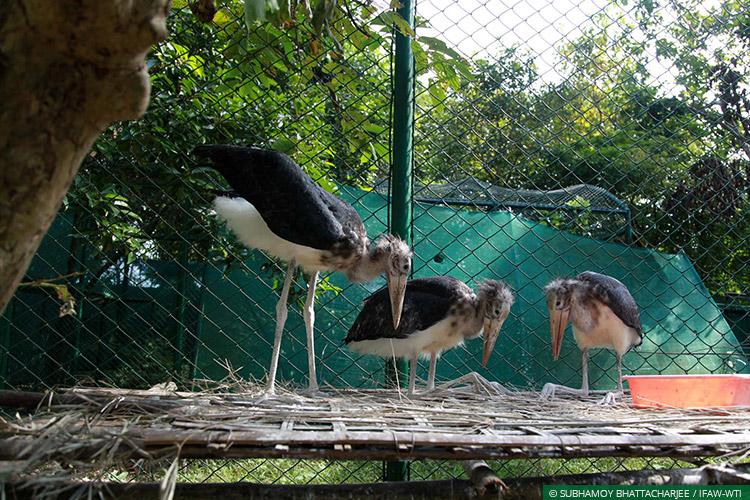 Assam, CWRC, Lesser Adjutant Storks, Wild Rescue, Rehabilitation
