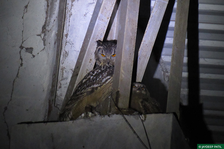 Eagle Owl, Wild Rescue & Rehabilitation, Brahmapuri, Vidarbha Tiger Project, Rapid Response Team