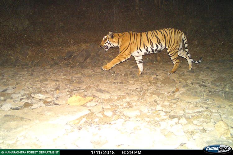 Maharashtra, Vidarbha Tiger Project, Tigers, Wolves, Indian Wolf