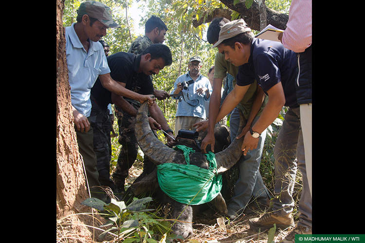 Asiatic Wild Water Buffalo, Central India Wild Buffalo Recovery Project, Chhattisgarh, Radio Collaring, Species Recovery, Udanti Wildlife Sanctuary, Udanti-Sitanadi Tiger Reserve, Wild Buffalo