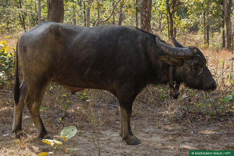 Asiatic Wild Water Buffalo, Central India Wild Buffalo Recovery Project, Chhattisgarh, Satellite Collaring, Species Recovery, Udanti Wildlife Sanctuary, Udanti-Sitanadi Tiger Reserve, Wild Buffalo