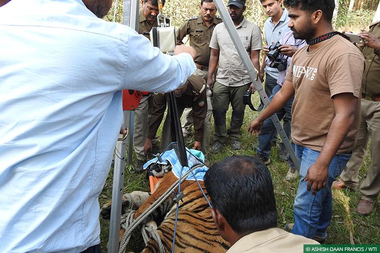 Tigers, Uttar Pradesh, Conflict Mitigation, Dudhwa Tiger Reserve, Human-Wildlife Conflict