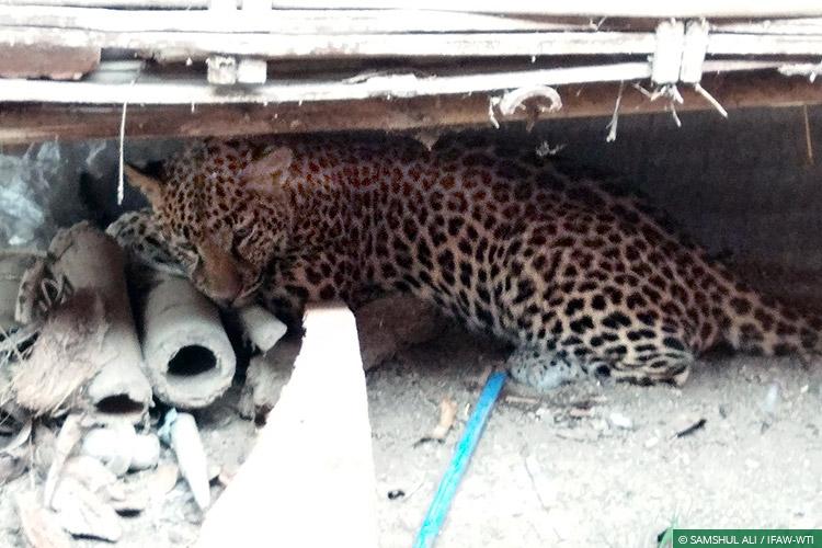 CWRC, Assam, Human-Wildlife Conflict, Human-Carnivore Conflict, Leopards, Wild Rescue