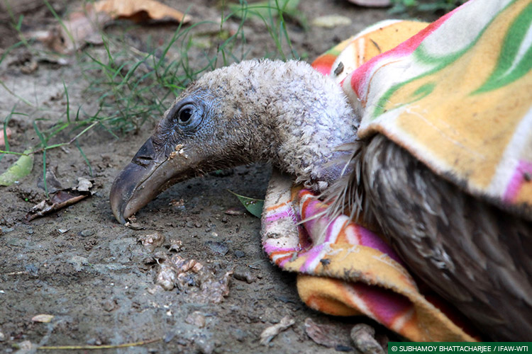 Assam, CWRC, Laokhowa WLS, Himalayan Griffon Vultures, Vultures, Poisoning, Wild Rescue