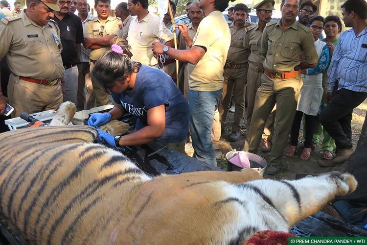 Uttar Pradesh, Dudhwa Tiger Reserve, Human-Carnivore Conflict, Terai Tiger Project, Conflict Mitigation, Tigers