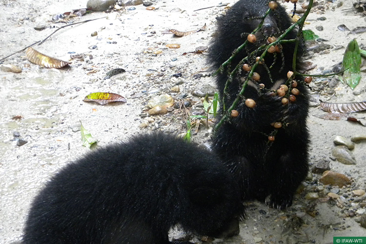 Arunachal Pradesh, Asiatic Black Bear, Bear Cubs, Bear Rehabilitation, CBRC, Centre for Bear Rehabilitation and Conservation, Pakke Tiger Reserve, Wild Rescue