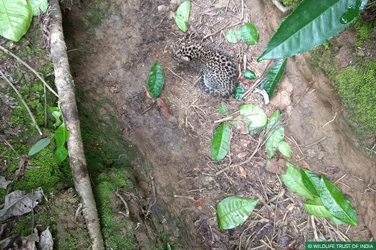 Assam, Mobile Veterinary Service, Wild Rescue, Reunion, Leopards